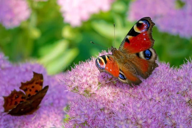 孔雀蝴蝶花 库存照片