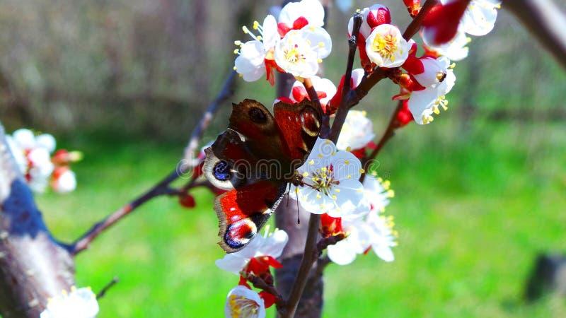 孔雀铗蝶在一个庭院里喝在一棵开花的杏树的花蜜在5月 免版税库存图片