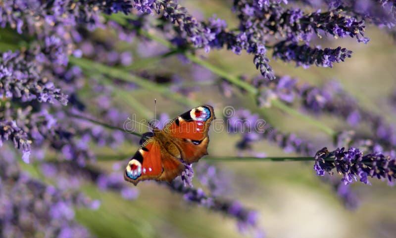 孔雀铗蝶坐紫罗兰色淡紫色 免版税库存图片