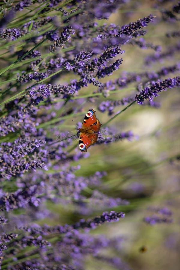孔雀铗蝶坐紫罗兰色淡紫色 免版税库存照片
