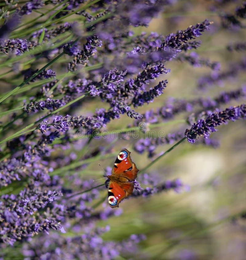 孔雀铗蝶坐紫罗兰色淡紫色 免版税图库摄影
