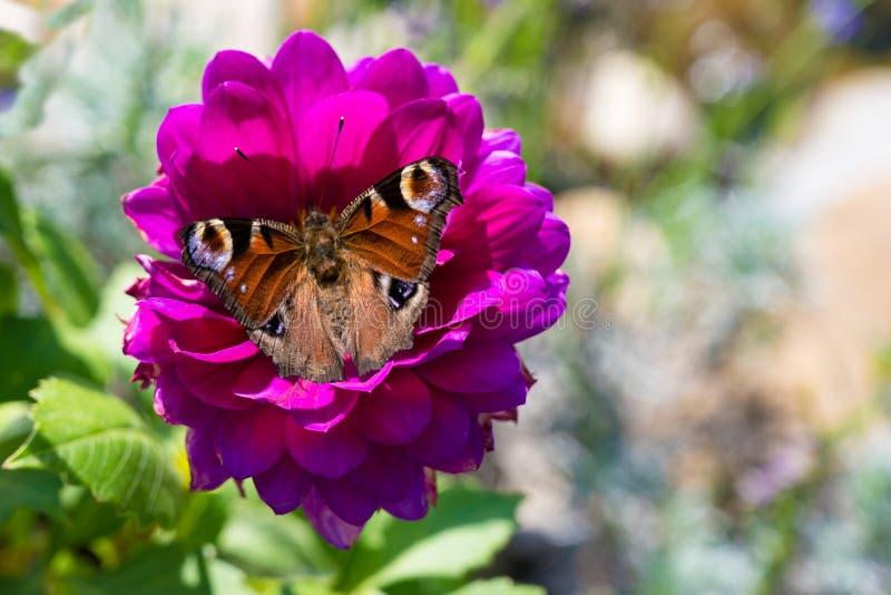孔雀铗蝶, aglais io,在桃红色大丽花花的欧洲孔雀铗蝶 非常锋利的照片 库存照片