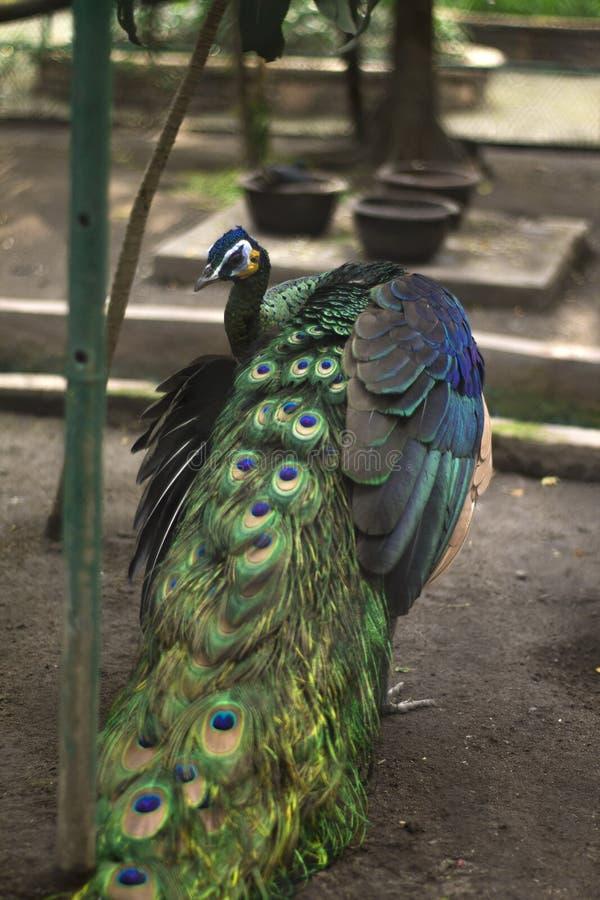 孔雀鸟 免版税图库摄影