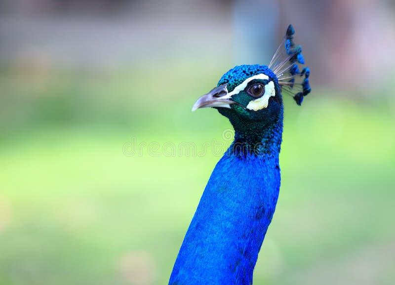 孔雀 关闭显示它美丽的羽毛的孔雀 公孔雀 在优质的宏观孔雀 库存图片