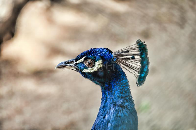 孔雀 关闭显示它美丽的羽毛的孔雀 免版税库存图片