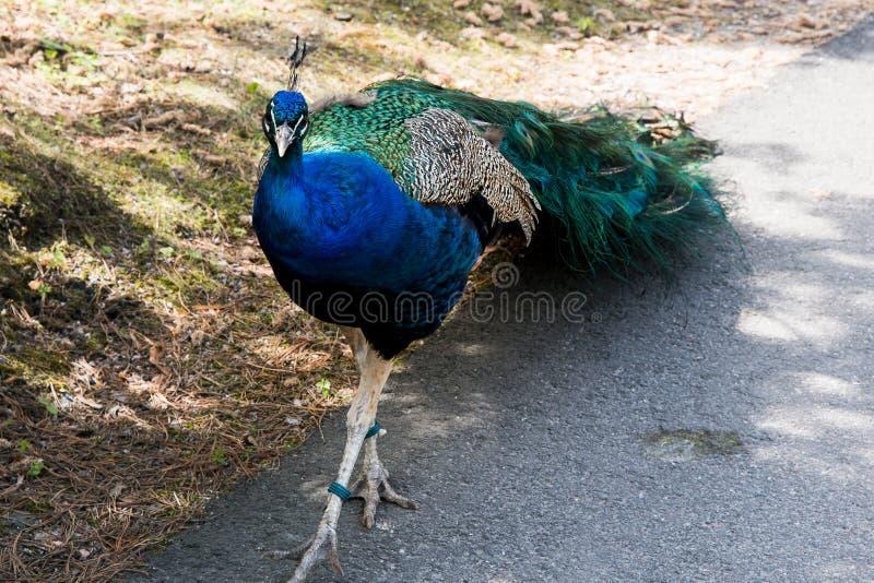 孔雀 关闭显示的孔雀 美丽的孔雀 免版税库存照片