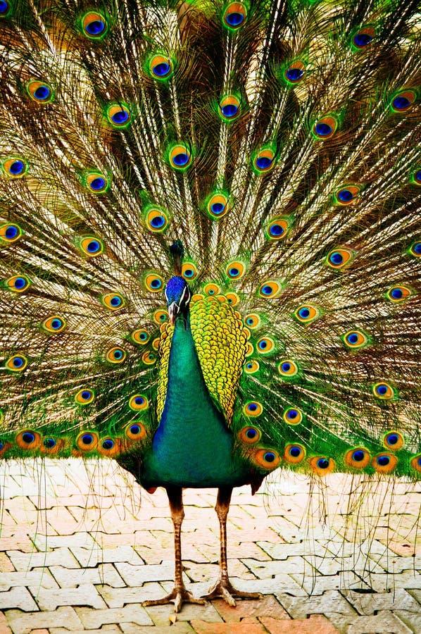 孔雀 孔雀 孔雀的美好的传播 美丽的孔雀鸟 与膨胀的羽毛的一个美丽的公孔雀 图库摄影