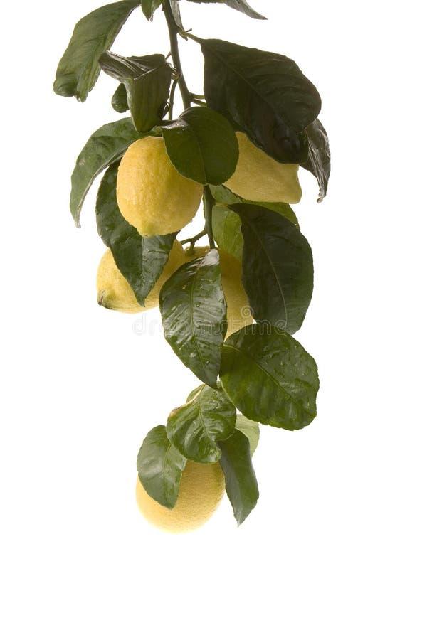 字符串停止的柠檬低 免版税库存照片