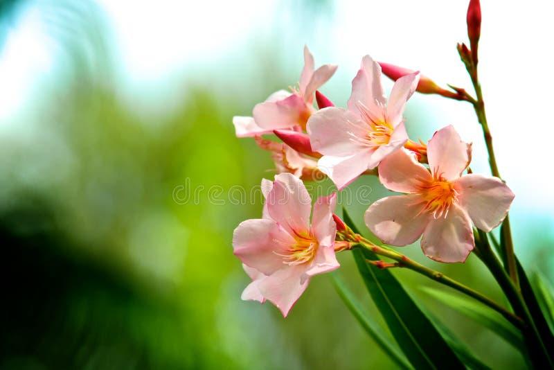 字符串夹竹桃粉红色 库存图片