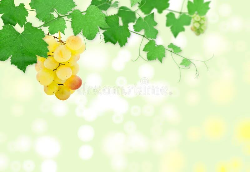 字符串葡萄葡萄树绿色 免版税图库摄影