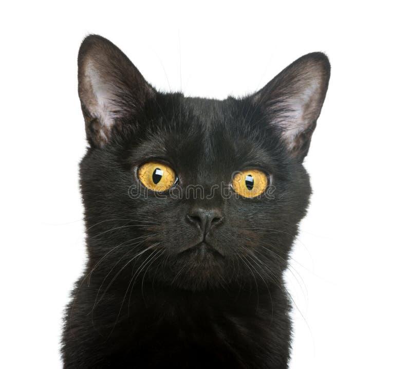 Download 孟买小猫的特写镜头 库存图片. 图片 包括有 全能, 空白, 似猫, 投反对票, 大使, 全部赌注, 轰炸 - 30338737