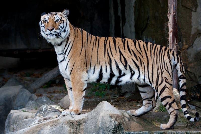 孟加拉印地安人老虎 免版税库存照片