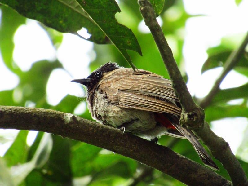 从孟加拉国的一只Bulbuli鸟 库存照片