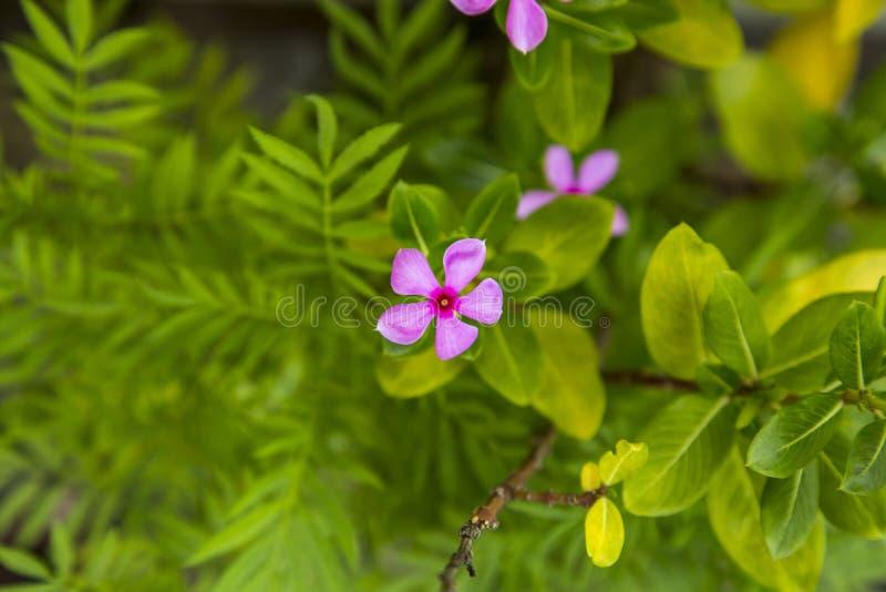 孟加拉国的紫色花有绿色庭院的 免版税图库摄影