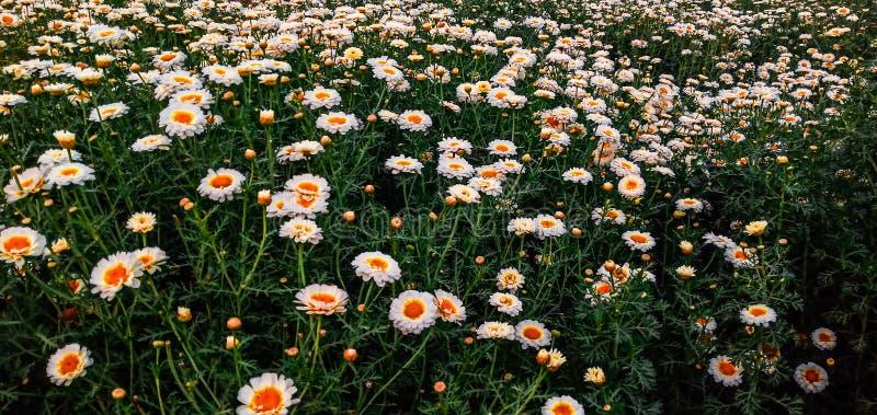 孟加拉国纳拉扬甘杰白菊花园 免版税库存照片