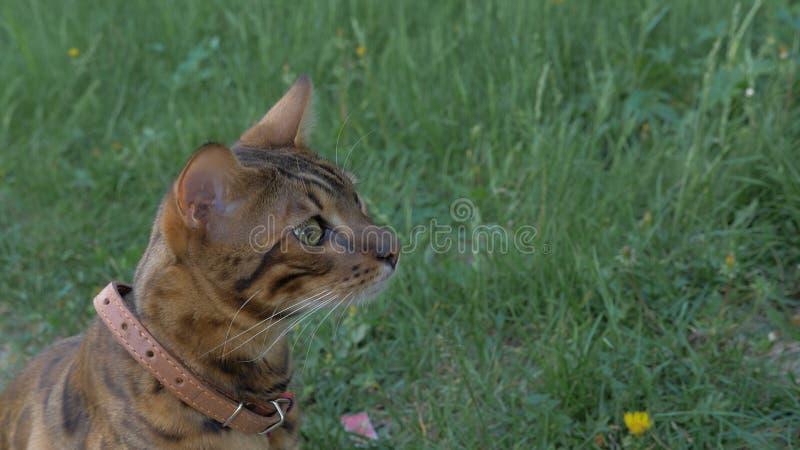 孟加拉在草的狭窄小道 他显示不同的情感 图库摄影