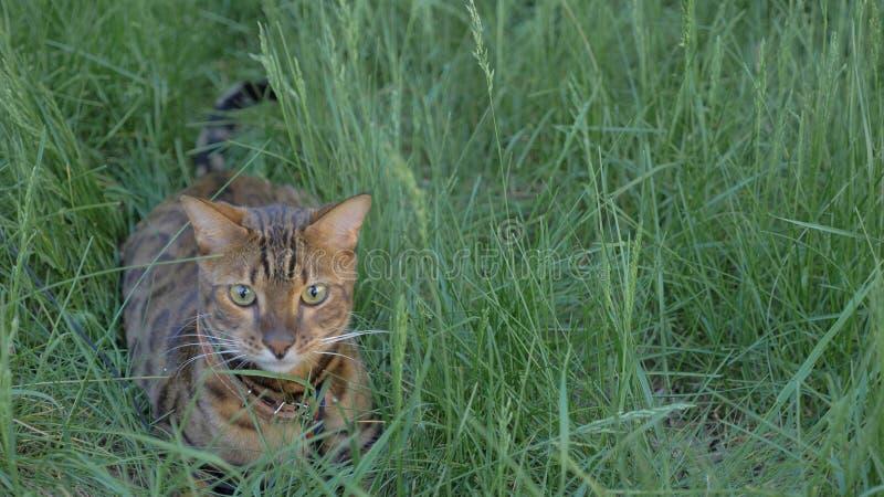 孟加拉在草的狭窄小道 他显示不同的情感 免版税图库摄影