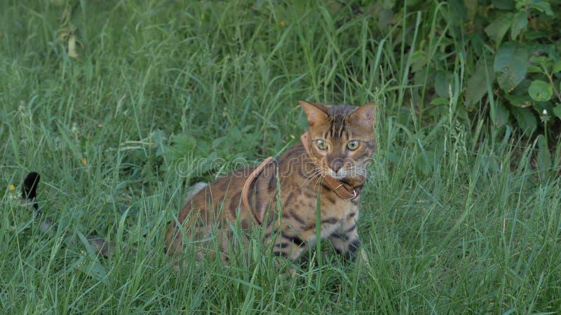 孟加拉在草的狭窄小道 他显示不同的情感 库存图片