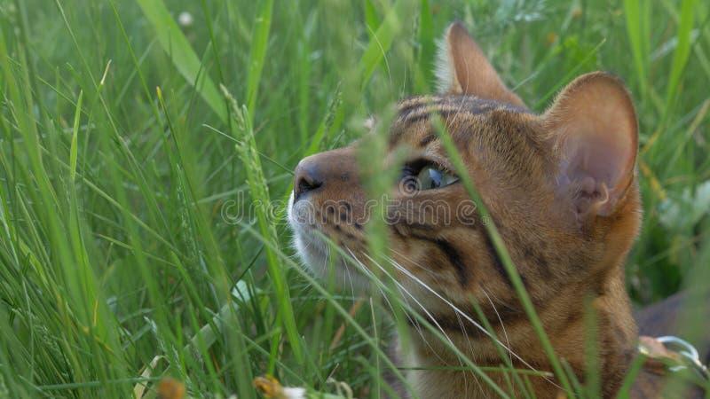 孟加拉在草的狭窄小道 他显示不同的情感 免版税库存照片