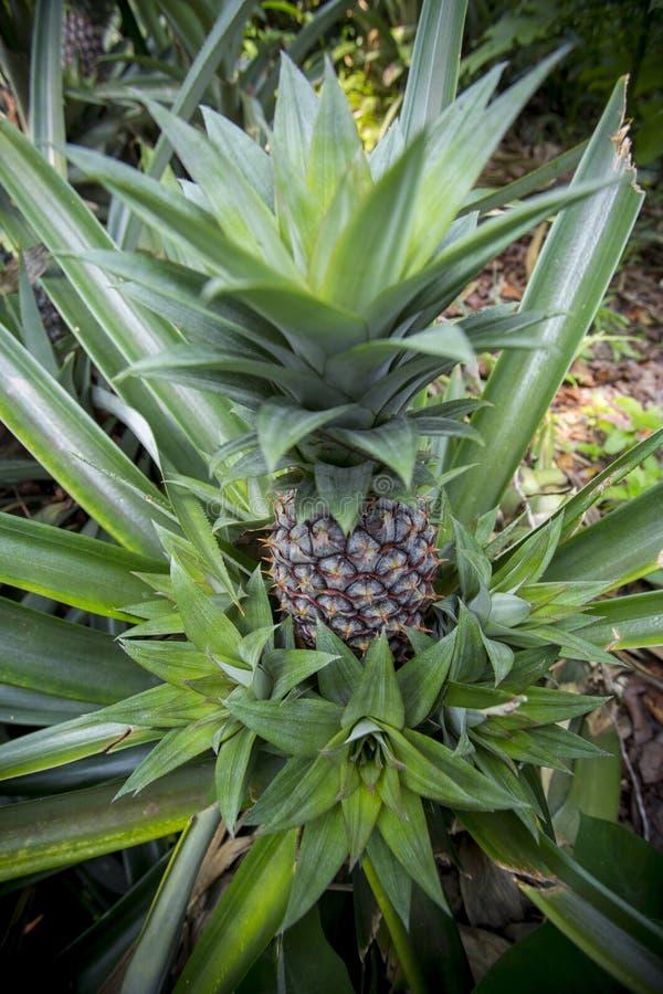 孟加拉坦盖尔马杜普尔花园种植绿色菠萝果实 免版税库存照片