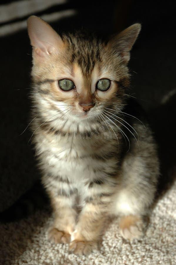 孟加拉小猫 库存图片