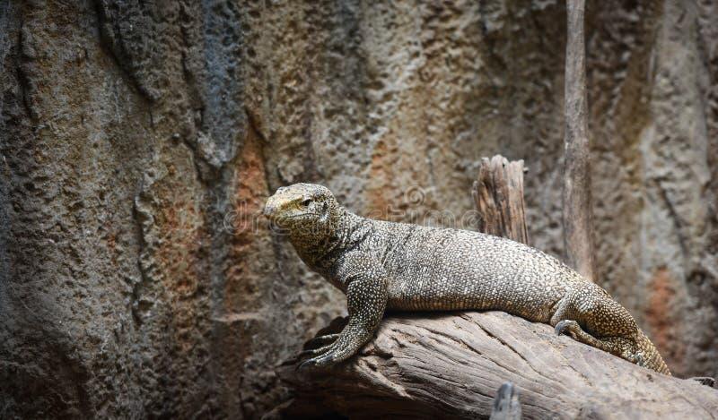 孟加拉显示器-树显示器野生生物蜥蜴/巨晰属bengalensis 库存照片