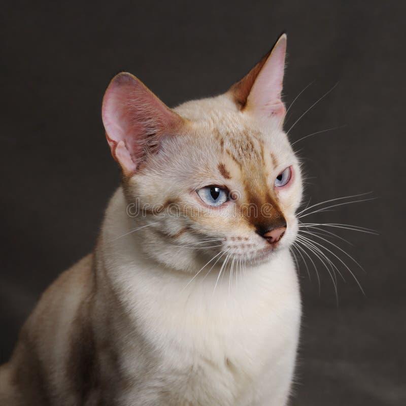 孟加拉猫题头 免版税库存照片