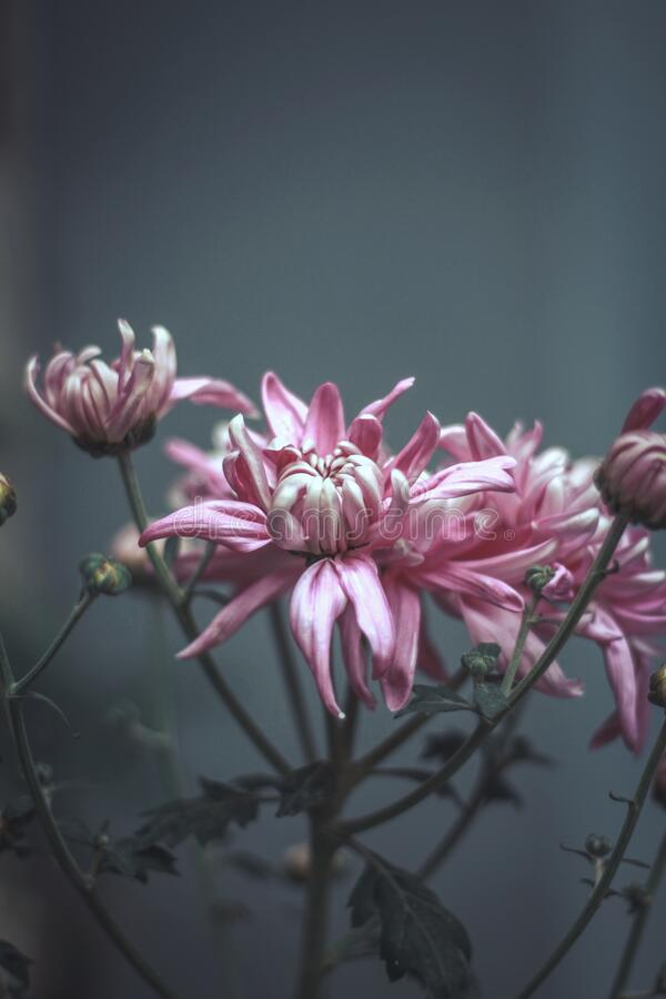 孟加拉米门辛菊花 库存图片