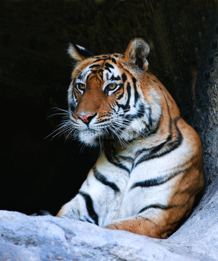 孟加拉纵向老虎 免版税图库摄影
