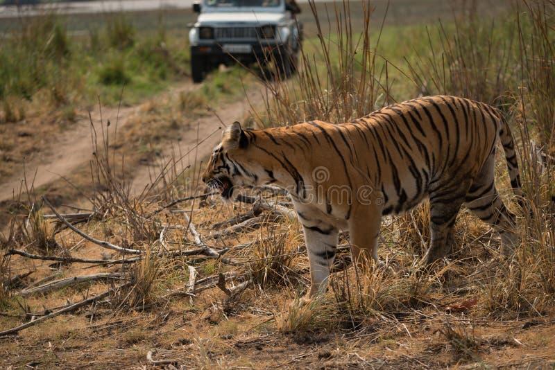 孟加拉老虎与后边吉普的横穿轨道 免版税库存照片