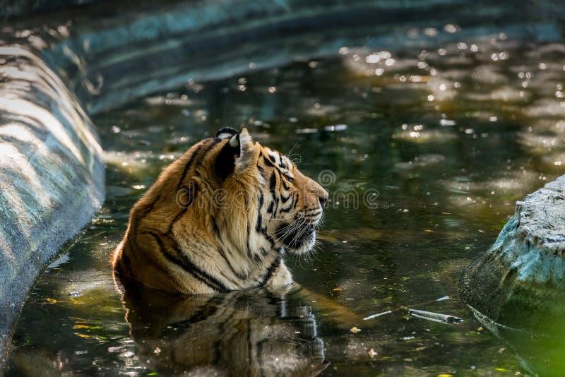 孟加拉老虎在水中被浸没 免版税图库摄影