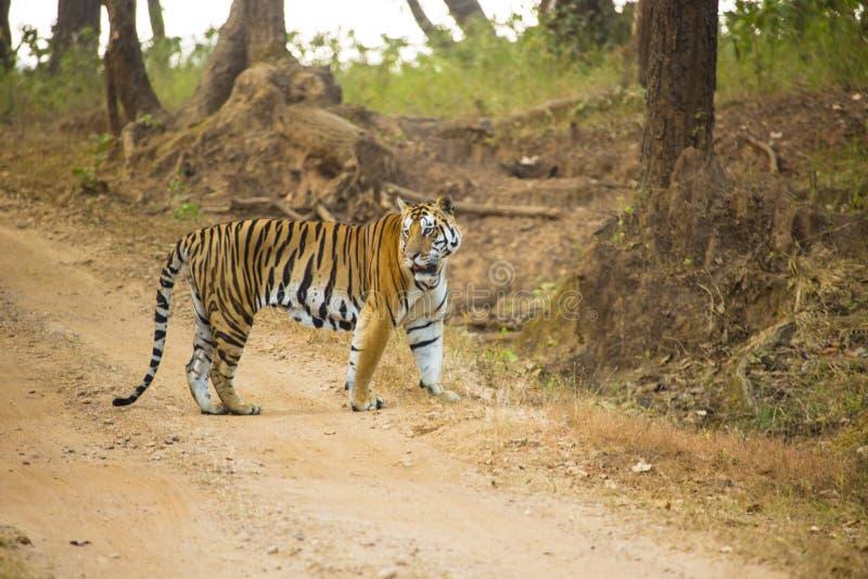 孟加拉老虎在路停留了 免版税库存图片
