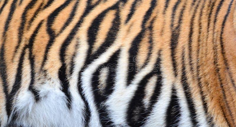 孟加拉老虎毛皮 库存图片