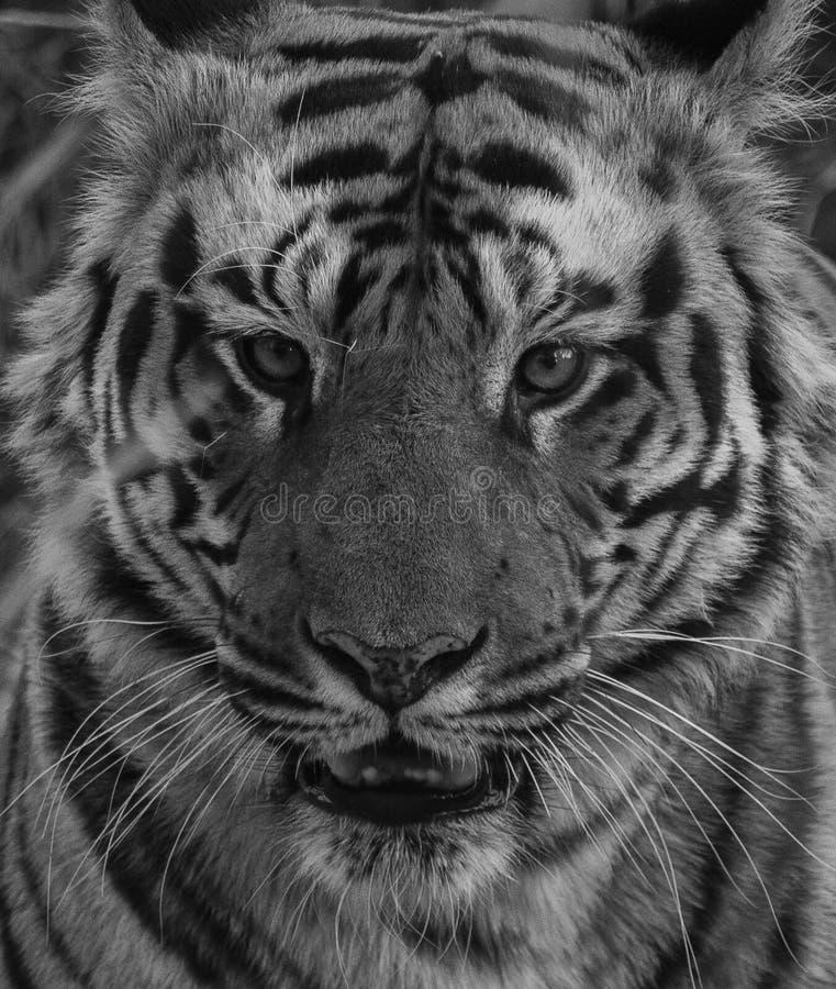 孟加拉老虎的一个黑白图象 免版税库存照片