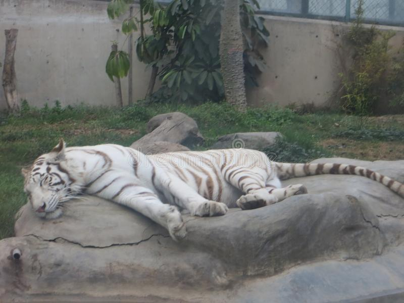 孟加拉老虎睡觉 免版税库存图片
