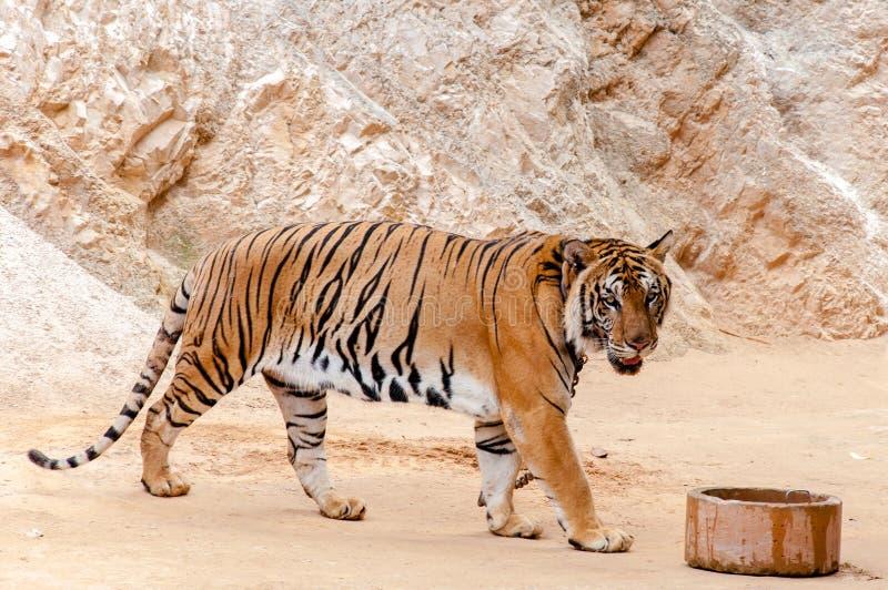 孟加拉老虎美好的标本  免版税库存图片