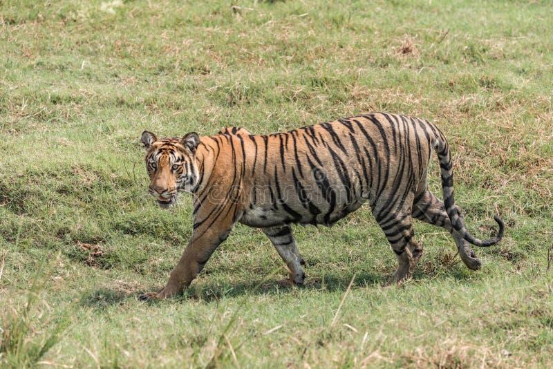 孟加拉老虎走右到左在豪华的草 库存图片