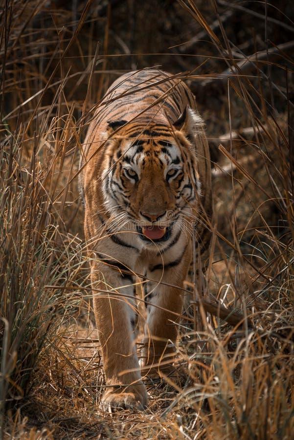 孟加拉老虎走往在草的照相机 免版税库存图片