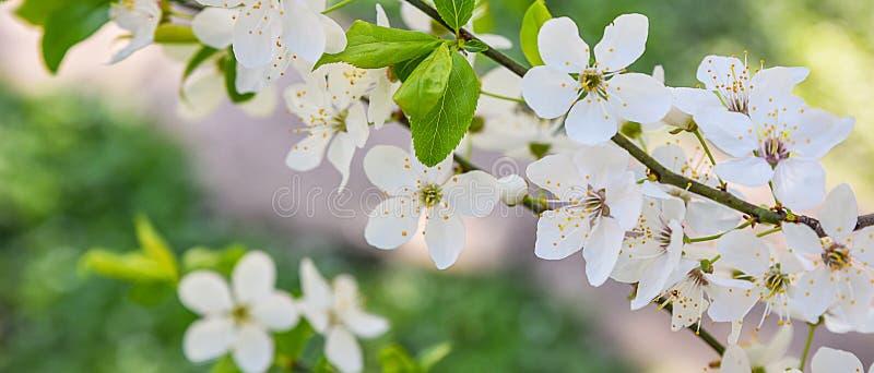 季节性春天开花树背景 免版税图库摄影