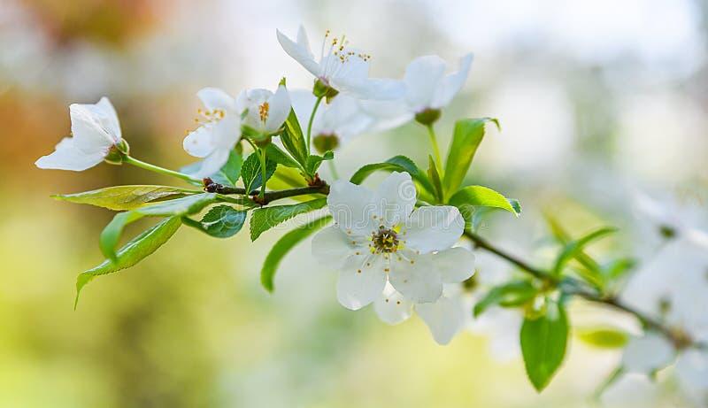 季节性春天开花树背景 库存照片