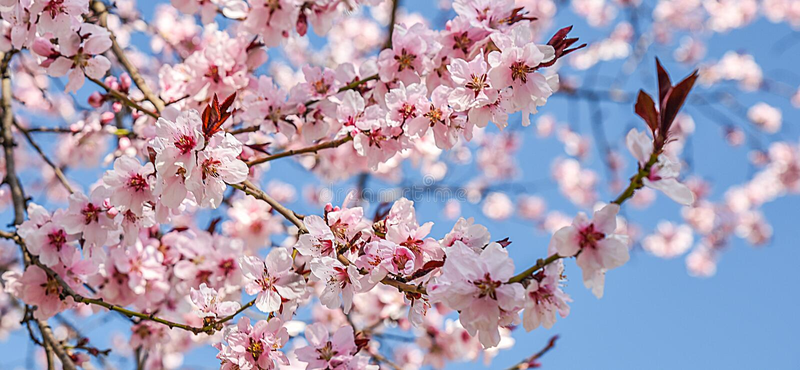 季节性春天开花树背景 免版税库存照片