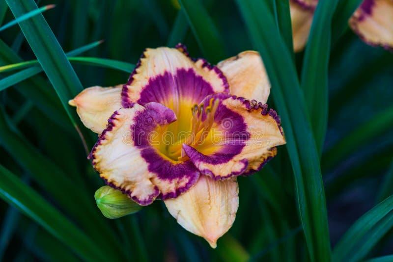 季节的第一个橙色百合开了花 库存照片