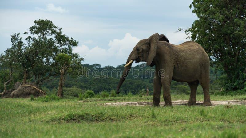 孤独的大象在乌干达 免版税库存照片