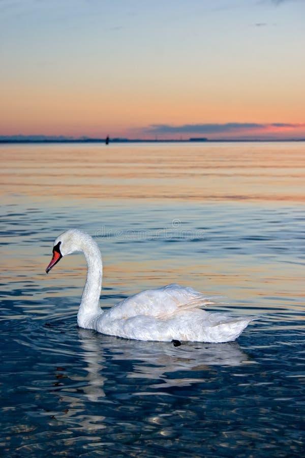 孤独的天鹅 免版税库存照片