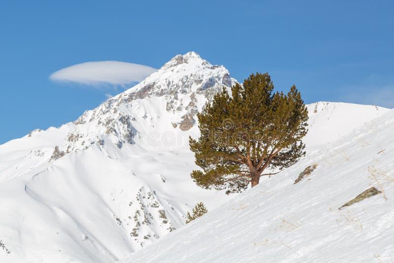 孤独的杉木在白种人土坎, Dombai的山的倾斜增长 图库摄影