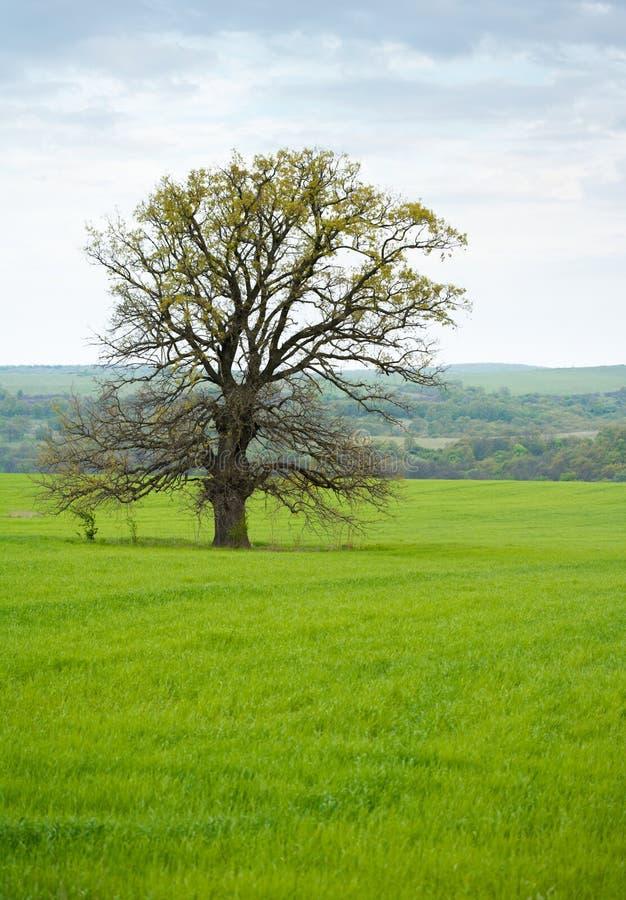 孤独的橡木老结构树 库存图片