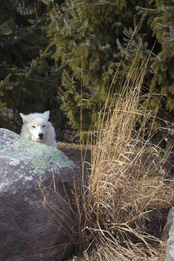 孤独的狼 免版税库存图片