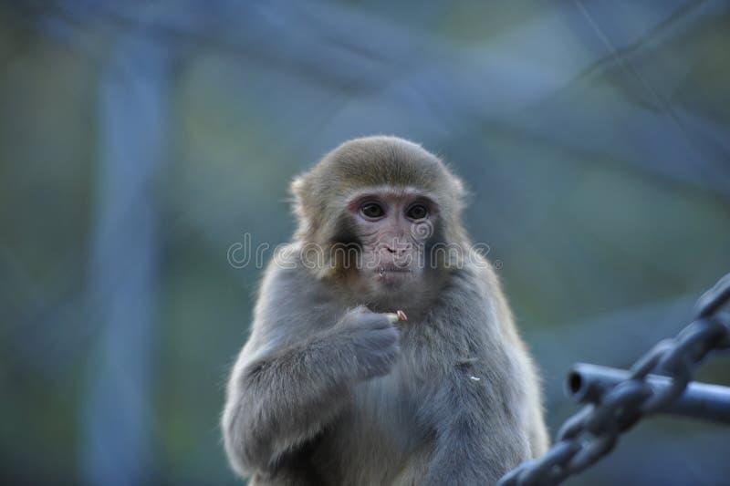 孤独的猴子 免版税库存图片