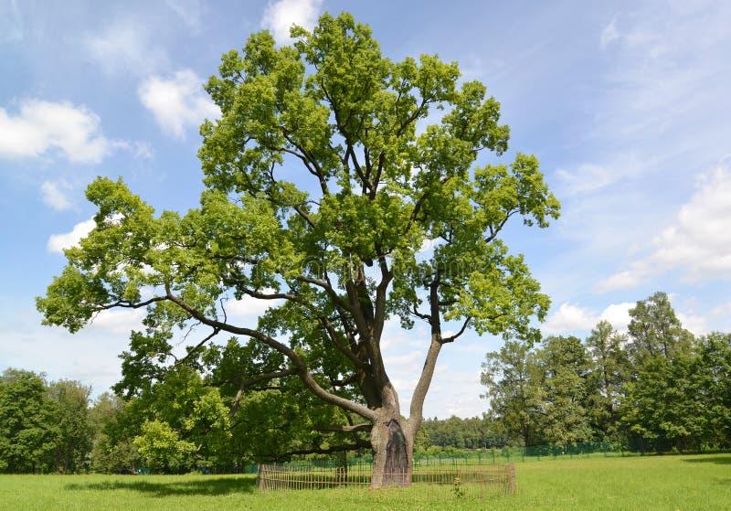孤独的老橡木在公园增长 库存图片
