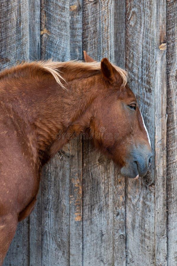 孤独的马站在乡村木仓的墙上 免版税库存照片
